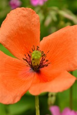 Orange color poppy flower close-up
