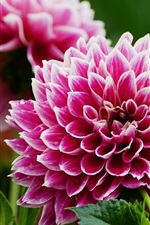 Preview iPhone wallpaper Pink dahlia, bloom, spring