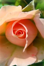 Pink rose, blurry background