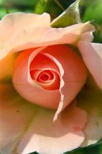 iPhone fondos de pantalla Rosa rosa, fondo borroso
