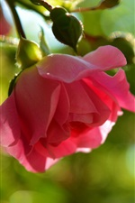 iPhone fondos de pantalla Rosa rosa, resplandor
