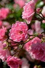 Pink roses, bee, spring flowers