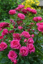 Preview iPhone wallpaper Pink roses, garden flowers