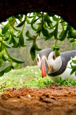 Preview iPhone wallpaper Puffin look at hole, plants