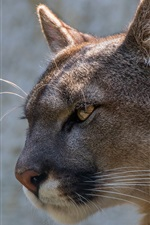 Preview iPhone wallpaper Puma side view, head, eye