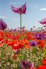 Preview iPhone wallpaper Purple and red poppies, flowers