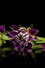 Preview iPhone wallpaper Purple dahlia, flowers, black background