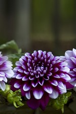 Preview iPhone wallpaper Purple dahlias, bench