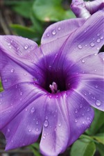 Preview iPhone wallpaper Purple flower, water droplets, wildflower