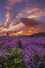 Preview iPhone wallpaper Purple lavender flowers, mountains, clouds, sunset