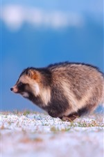 Preview iPhone wallpaper Raccoon dog running, snow, winter