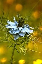iPhone fondos de pantalla Ranunculaceae, Nigella damascena, pétalos azules