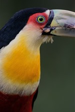 Preview iPhone wallpaper Red-breasted Toucan, bird, beak