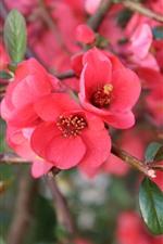 iPhone fondos de pantalla Flores rojas, floración, primavera