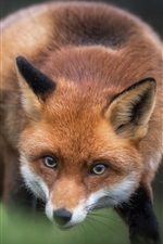 Preview iPhone wallpaper Red fox, look, blurry background