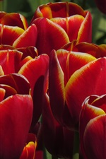 Preview iPhone wallpaper Red orange tulips, flowers