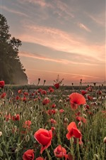 Red poppies, flowers, trees, sunset