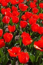 iPhone fondos de pantalla Campo de tulipanes rojos, primavera