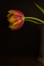 Preview iPhone wallpaper Single tulip, kettle