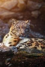Preview iPhone wallpaper Snow leopard rest, predator