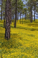 Preview iPhone wallpaper Spain, Canary Islands, yellow flowers, trees, spring