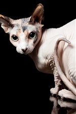 Preview iPhone wallpaper Sphynx cat look back, eyes, black background