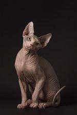 Sphynx gato, sente-se, fundo preto