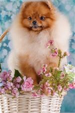 Spitz dog, basket, flowers
