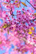 Preview iPhone wallpaper Spring, sakura flowering, pink tree flowers