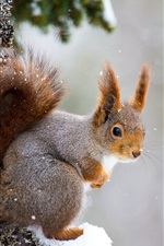 Preview iPhone wallpaper Squirrel, snowy, tree, winter