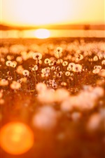 Preview iPhone wallpaper Summer, dandelions, sunlight, glare, sunset