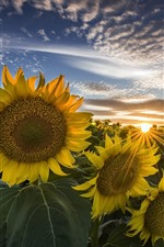 Sunflowers, sunrise, summer
