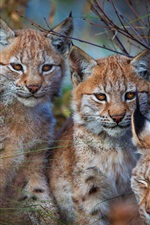 Preview iPhone wallpaper Three wild cats