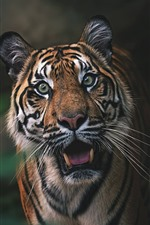 Preview iPhone wallpaper Tiger, front view, face, roar