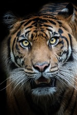 Preview iPhone wallpaper Tiger front view, look, black background
