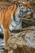 Preview iPhone wallpaper Tiger, look, standing in water, stones