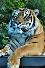 Preview iPhone wallpaper Tiger rest, trees, zoo