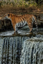 Preview iPhone wallpaper Tiger, waterfall, water, zoo