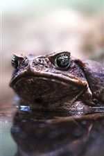 Preview iPhone wallpaper Toad, pond, water
