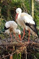 Two birds, stork