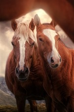 Preview iPhone wallpaper Two brown horses, front view