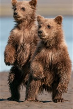 Preview iPhone wallpaper Two cute brown bears, stand up, wet