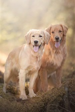 Preview iPhone wallpaper Two dogs, Golden Retriever