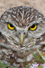 Preview iPhone wallpaper Two owls, yellow eyes, birds