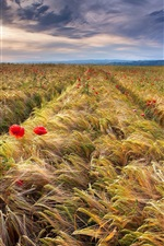 Wheat field, spikelets, red poppies
