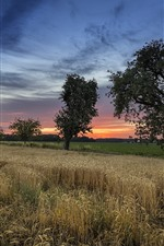 Preview iPhone wallpaper Wheat field, trees, clouds, sunset, summer