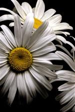 White chamomile flowers, petals, black background