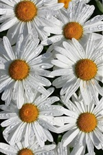 White chamomile flowers, petals, water droplets