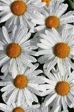 iPhone fondos de pantalla Flores de manzanilla blanca, pétalos, gotas de agua