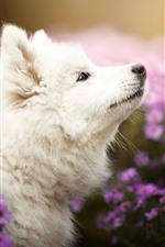 Preview iPhone wallpaper White dog take head up, purple chrysanthemum